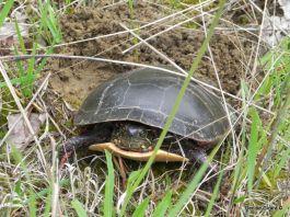 tortue peinte pond ses oeufs...que je cherche encore...