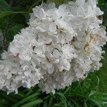 Le lilas était en fleur et quel bonheur !