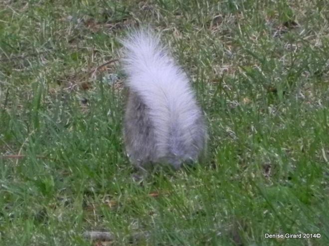écureuil queue blanche