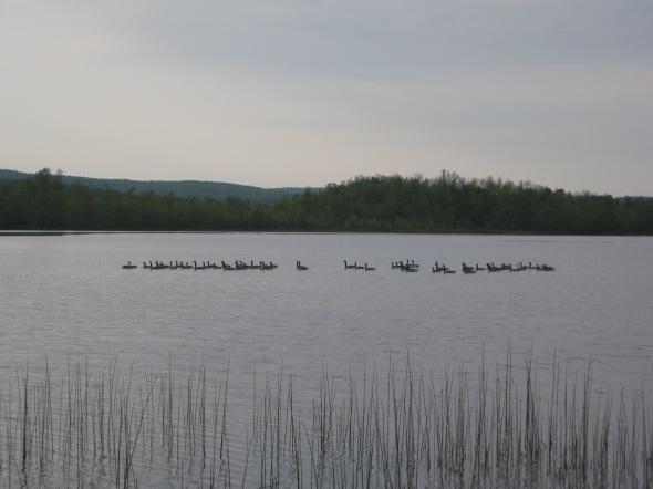 bernaches sur lac