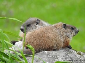 bébés marmottes