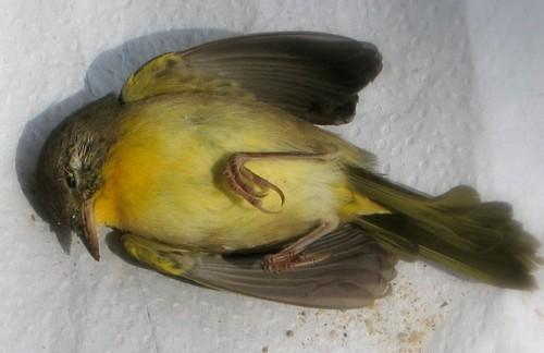 oiseau mort