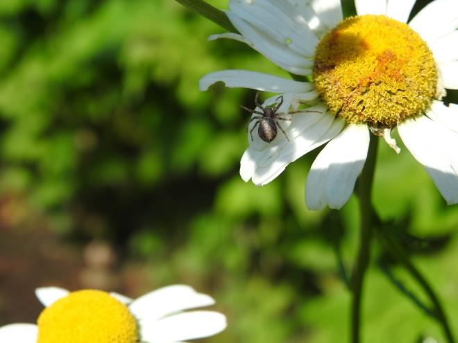 fleur araignée insecte